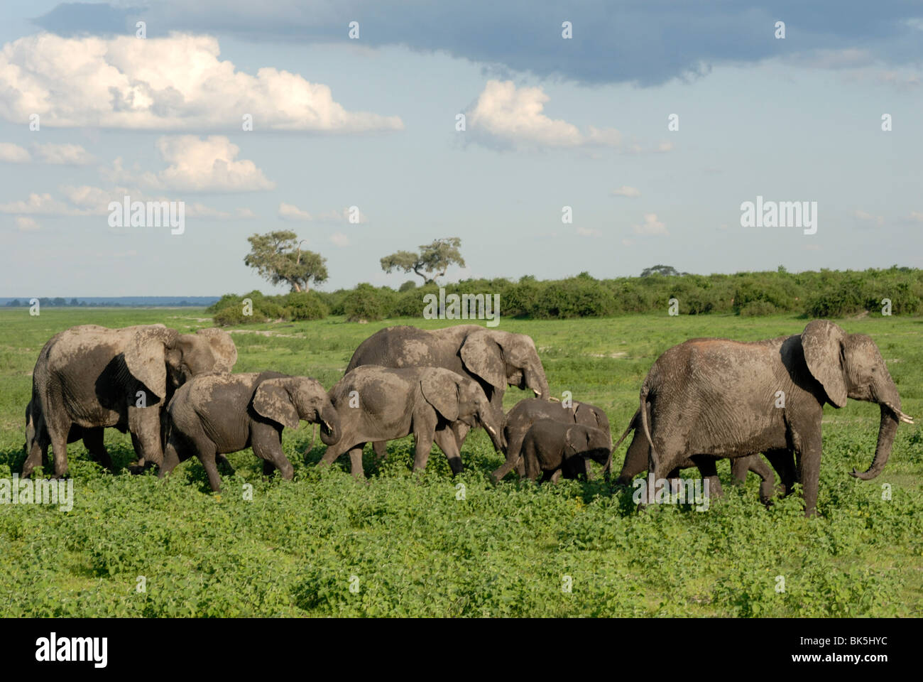 Group of elephants after mud bath, Chobe National Park, Botswana, Africa Stock Photo