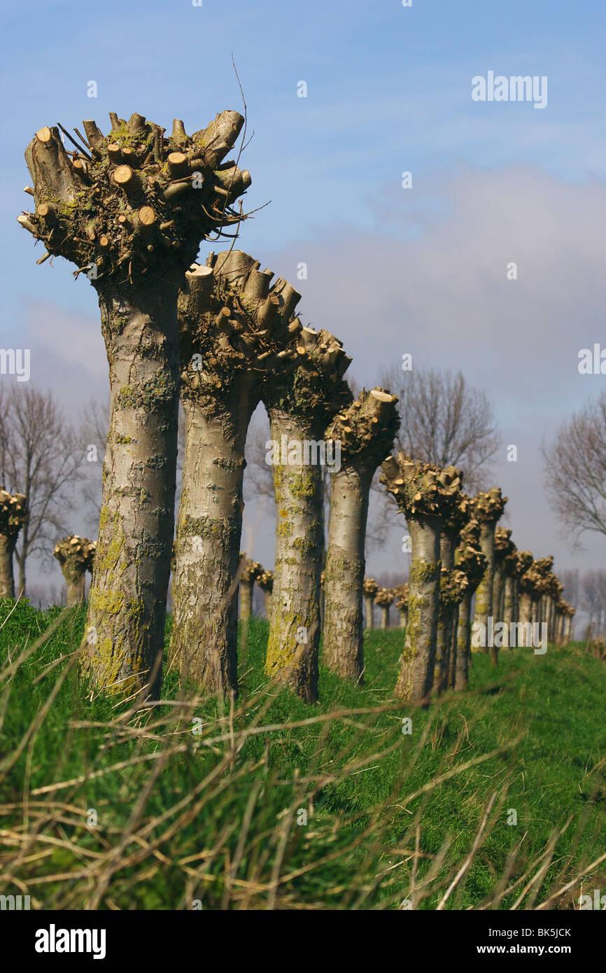 Pollard Willow trees on a Dutch dike - Stock Image