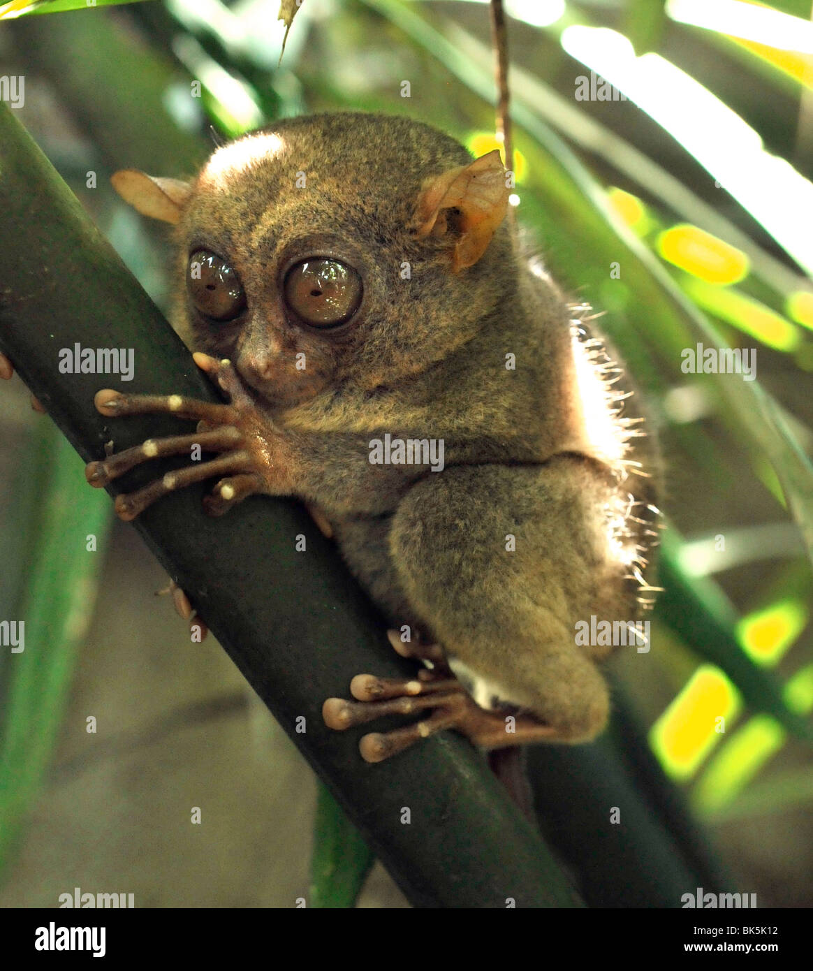 The Philippine tarsier known locally as the Maumag, an endangered tarsier species endemic to the Philippines - Stock Image