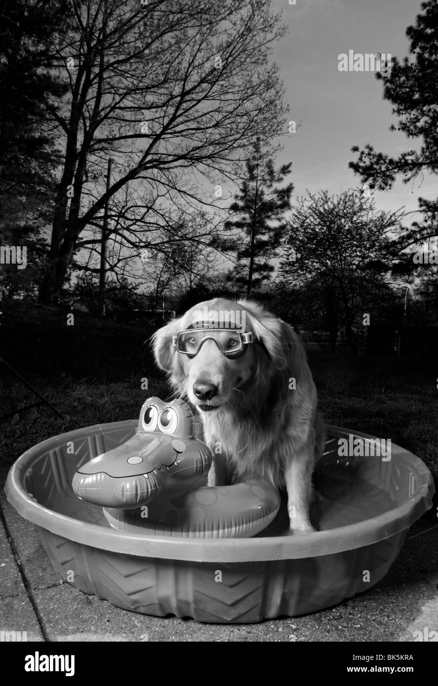 A black and white picture of a golden retriever in a pool with a swim mask and a floating toy at sunset. (Canis - Stock Image