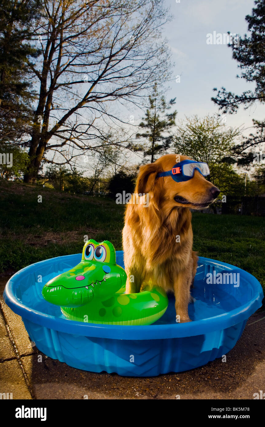 A golden retriever in a pool with a swim mask and a floating toy at sunset (Canis lupus familiaris) Stock Photo