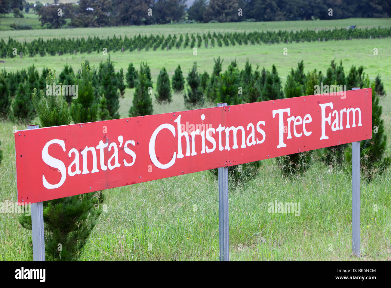 santas christmas tree farm below the macquarie pass national park in new south wales australia