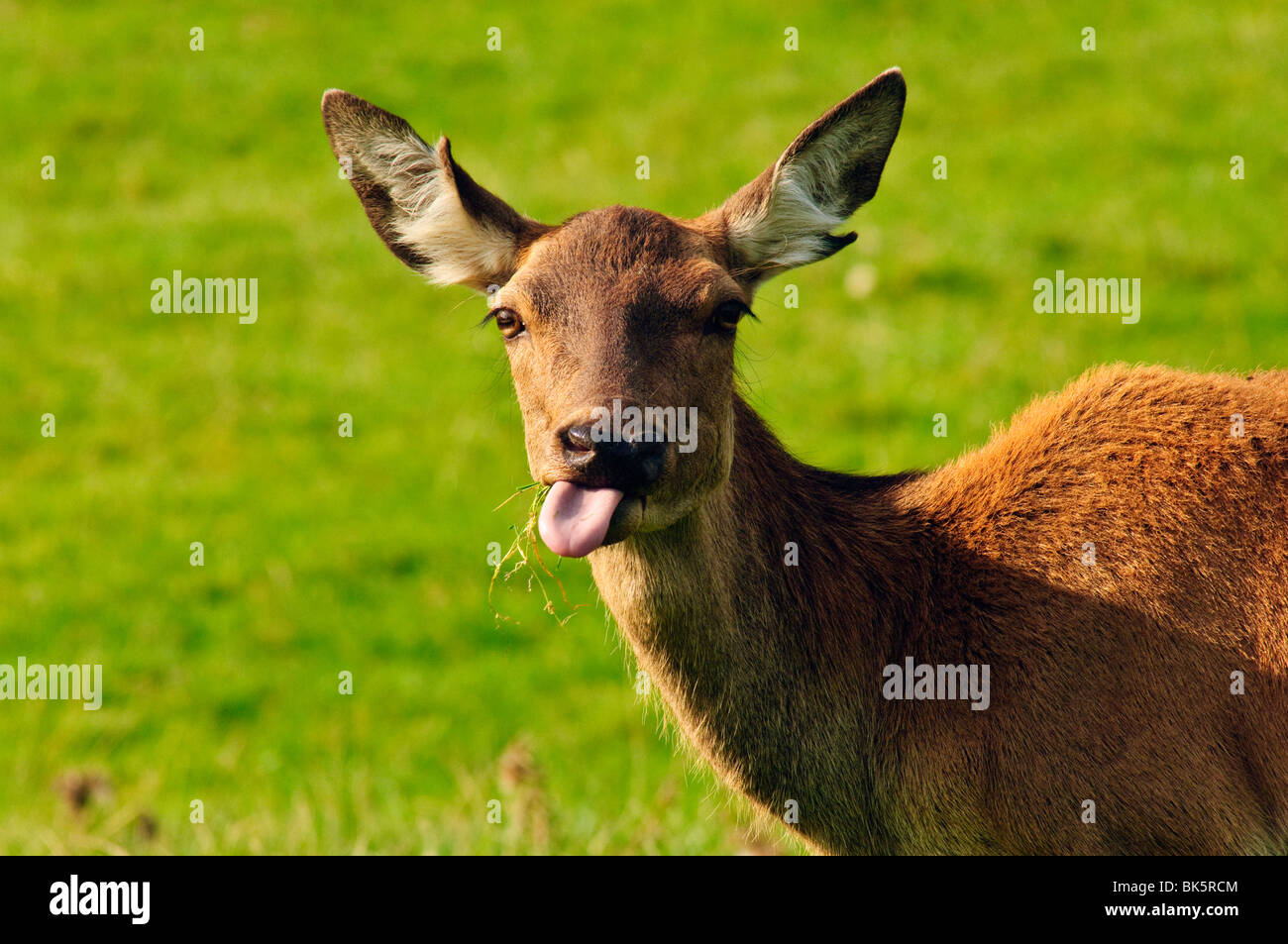 Red Deer hind at Bowland Wild Boar Park, Lancashire, England - Stock Image