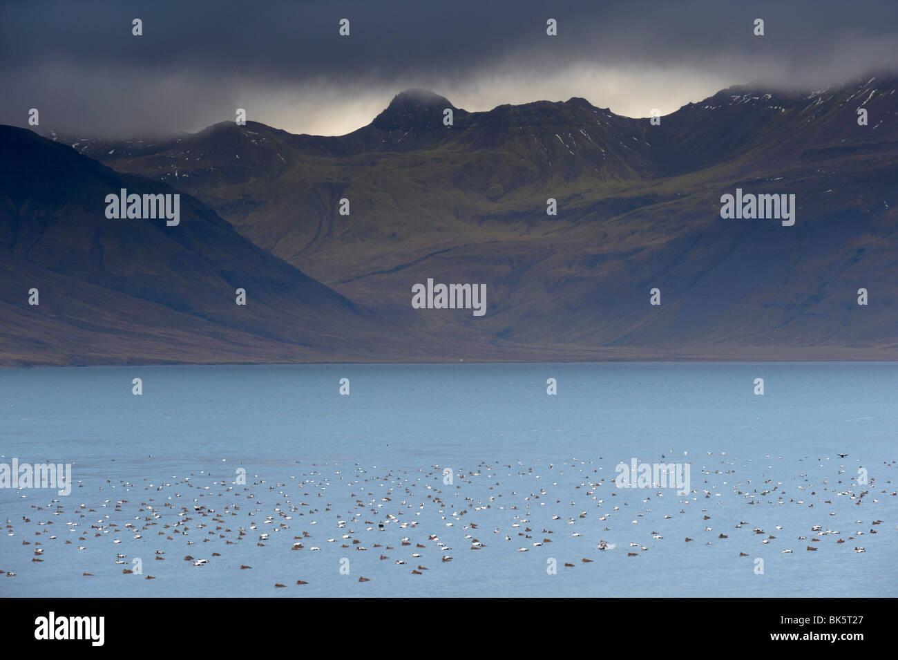 Flocks of Eider ducks on sheltered waters of Kolgrafafjordur fjord near Grundarfjordur, Snaefellsnes Peninsula, - Stock Image