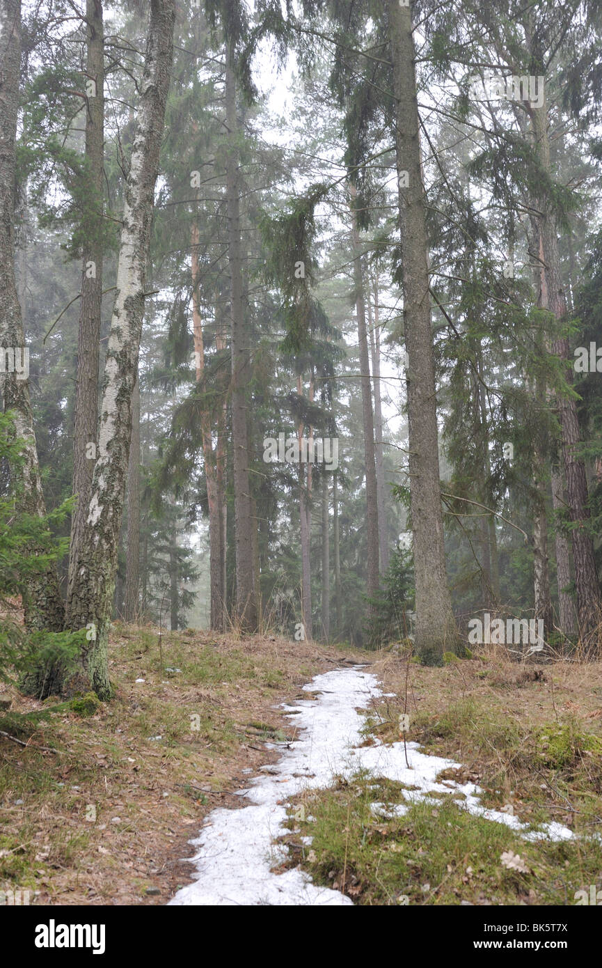 Spring in the wood. Melting snow, water, spruces. - Stock Image
