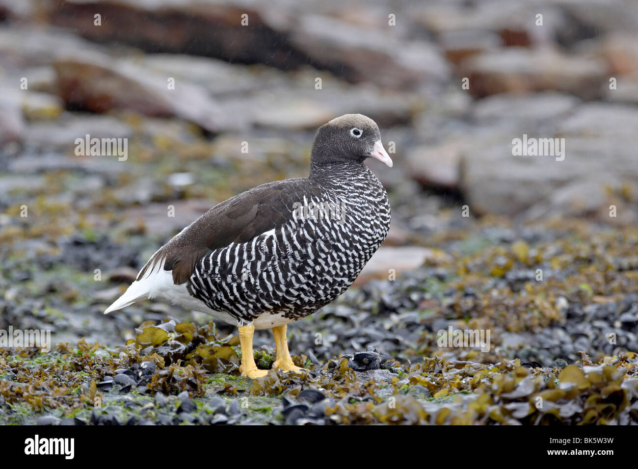Female Falkland flightless steamer duck (Tachyeres brachypterus), New Island, Falkland Islands, South America - Stock Image