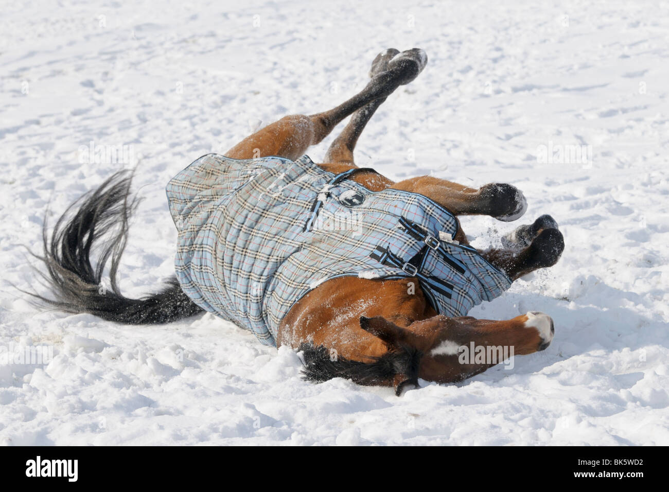 Oldenburg breed horse wearing a rug rolling in snow - Stock Image