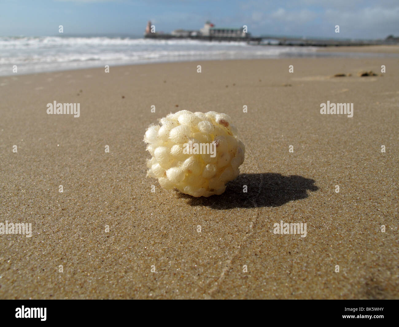 Dog whelk egg ball - Stock Image