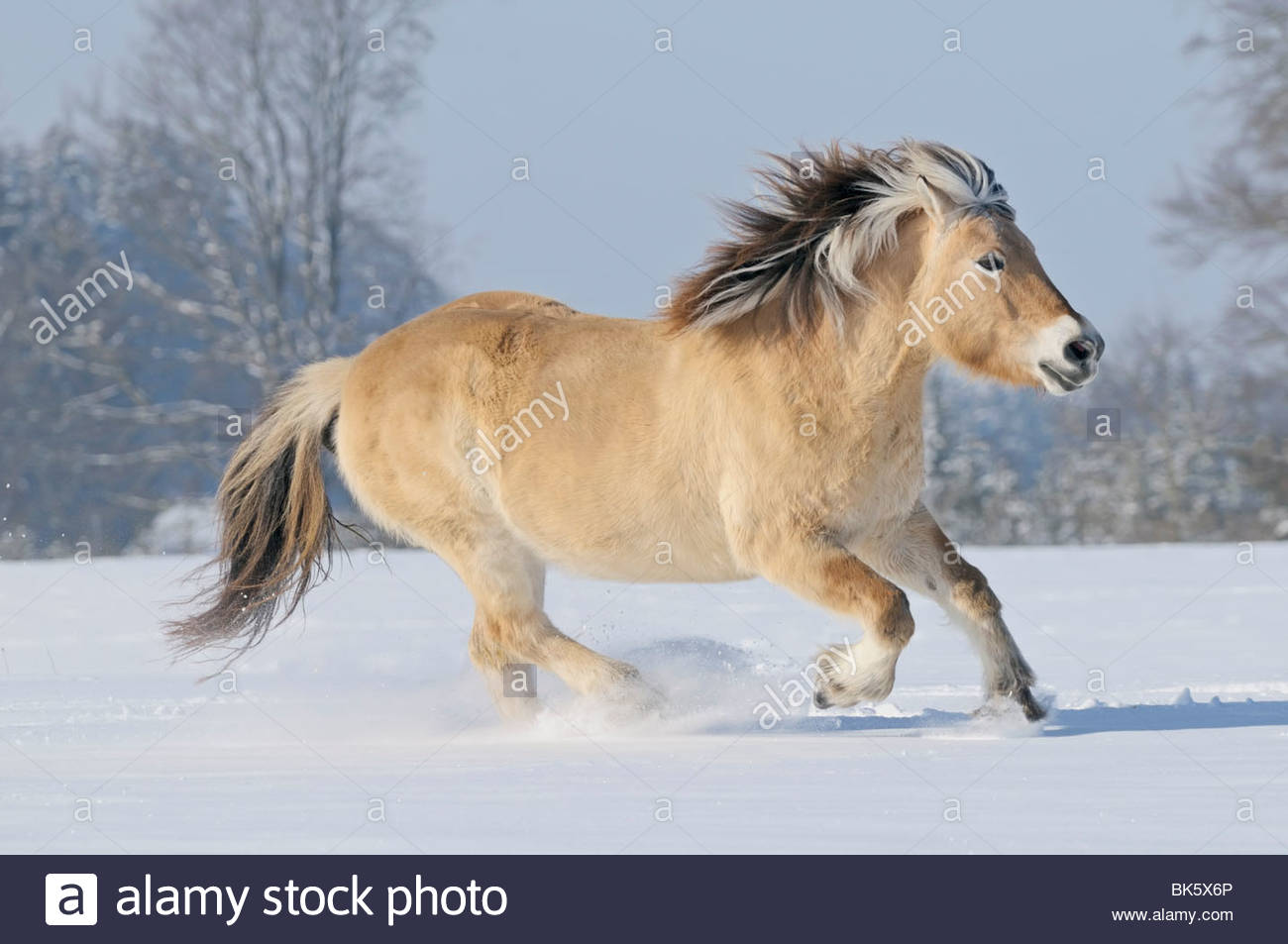 Norwegian horse in winter - Stock Image