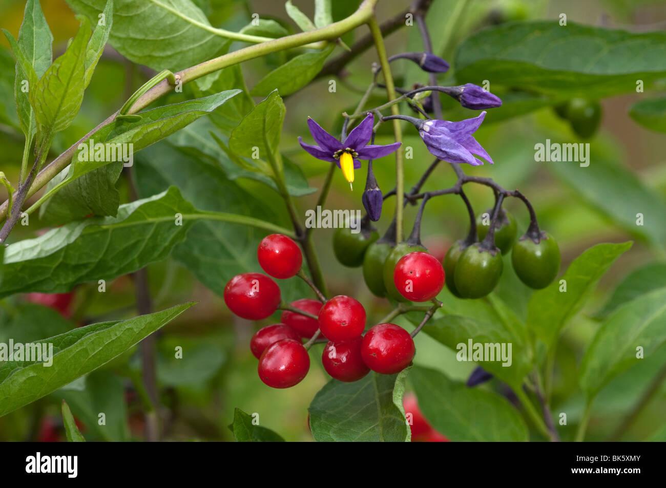 Bittersweet Nightshade, Deadly Nightshade (Solanum ...