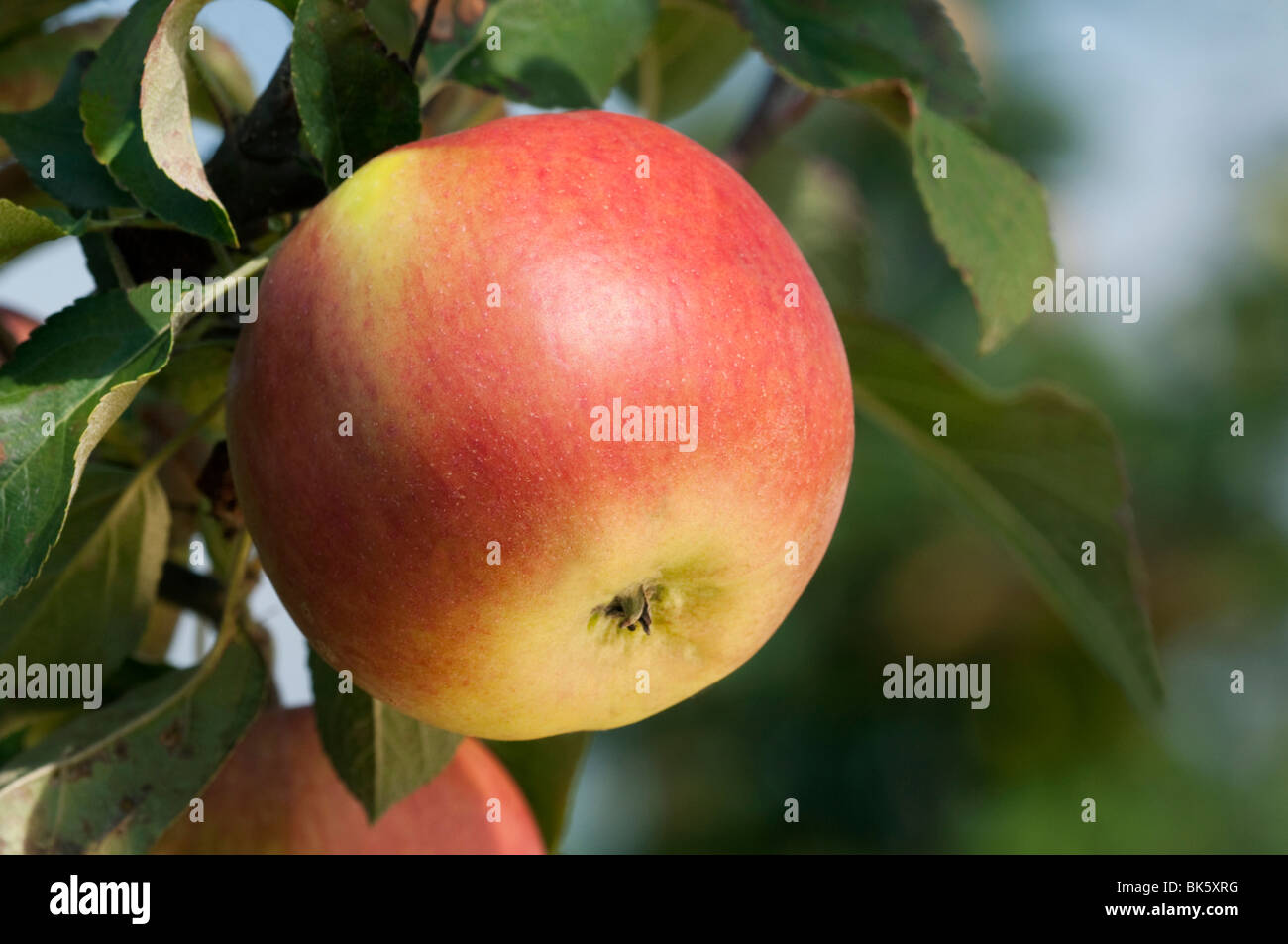 Domestic Apple (Malus domestica), variety: American Mother, The Mother, apples on a tree. - Stock Image