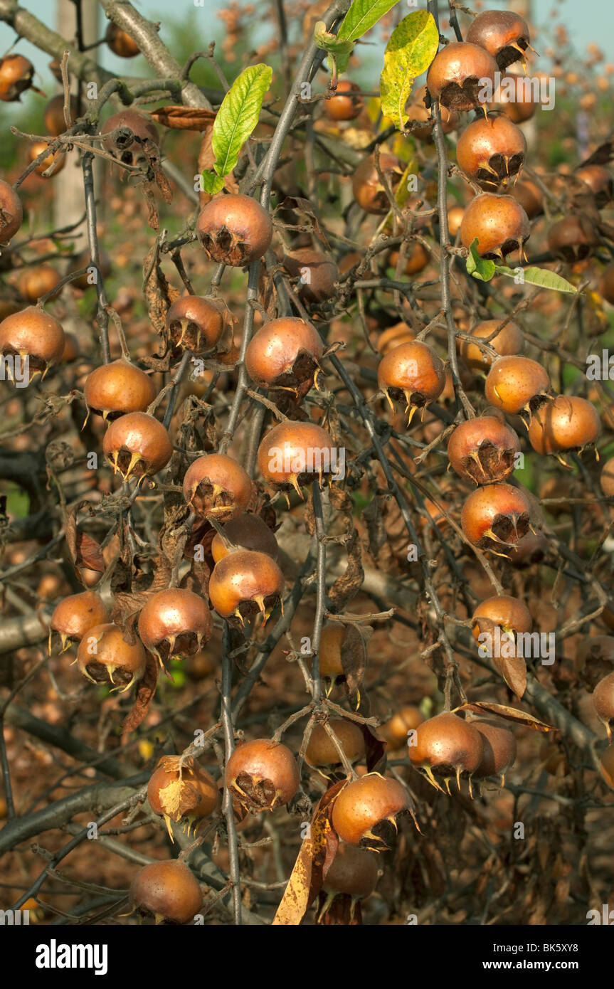 Medlar (Mespilus germanica), fruit in autumn in an almost leafless tree. Stock Photo