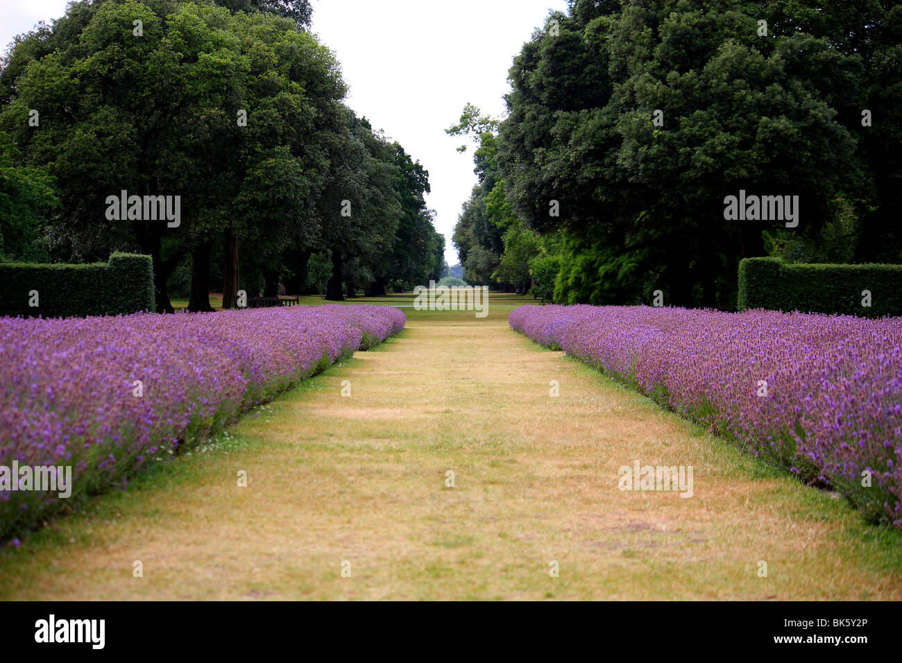 A view flanked by Lavenders - Stock Image