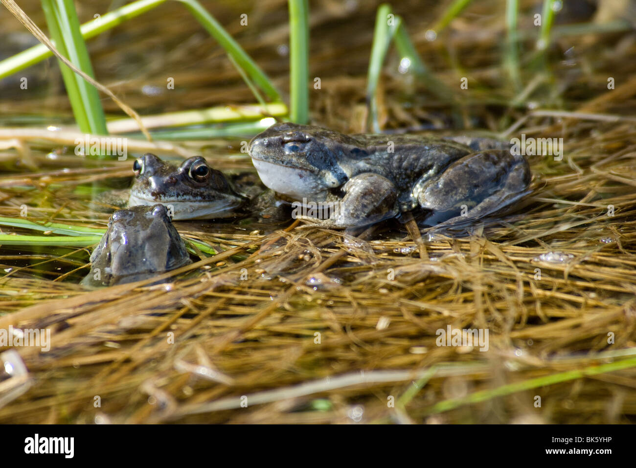 Rana temporaria anfibi anuri sangue freddo cold blood inverno frog cold portrait primo piano Engadina Val Roseg - Stock Image