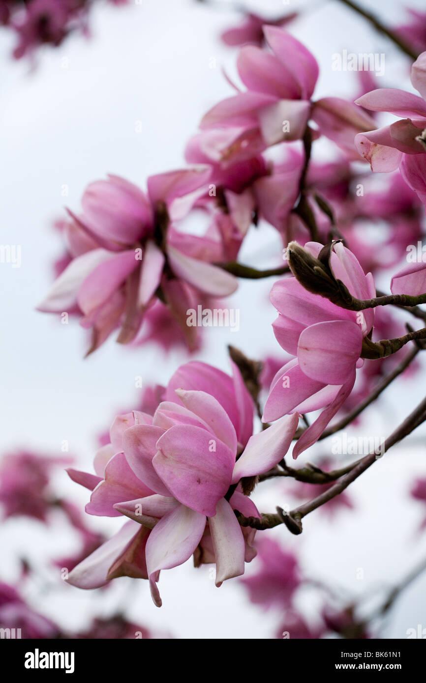 Campbell's Magnolia (Magnolia campbellii var. mollicomata) Stock Photo