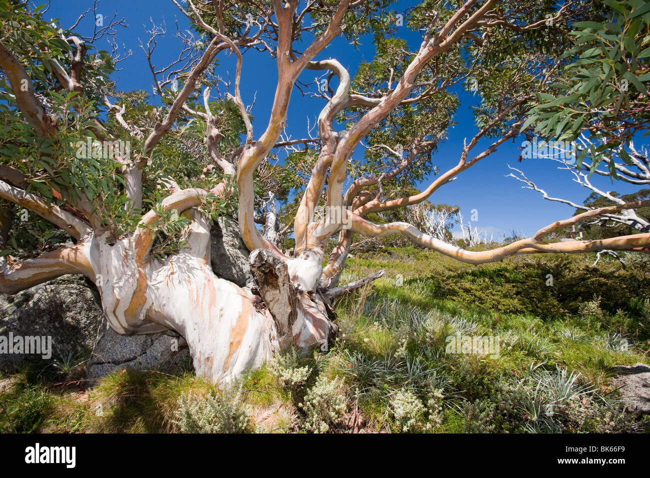 Snow Gum trees in the Snowy Mountains, Australia. - Stock Image
