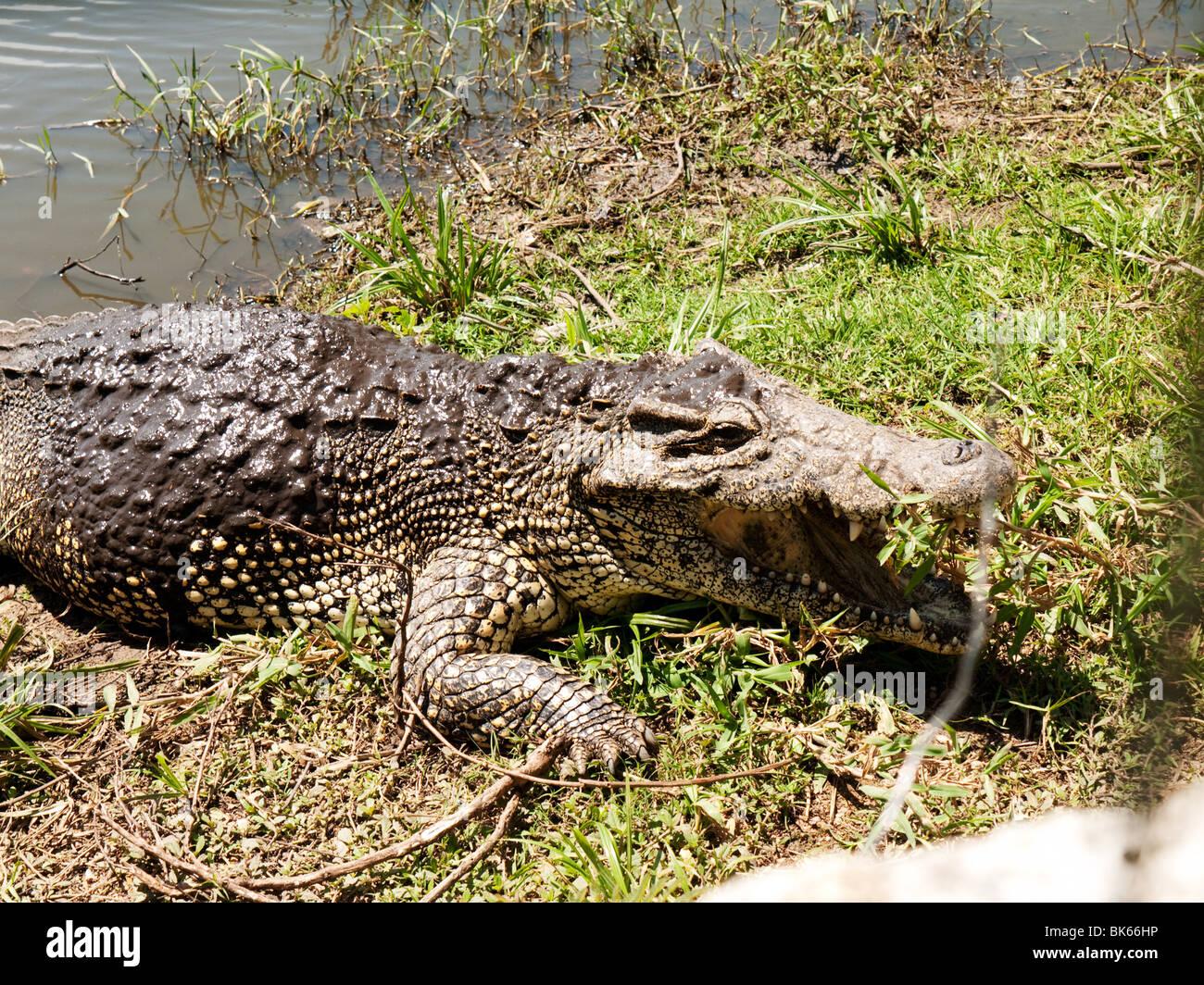 Crocodile in the Crocodile Farm, near Treasure Lake,  Guama, Cuba - Stock Image