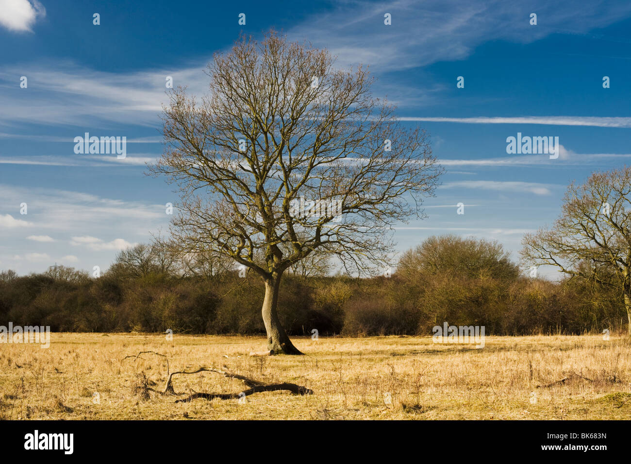 Leafless oak tree at Castor Hanglands National Nature Reserve, Cambridgeshire, in early March - Stock Image