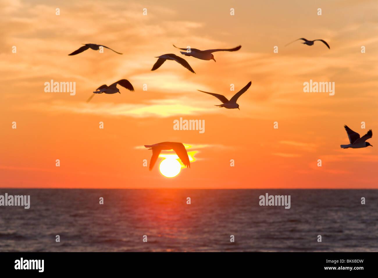 Birds flying at sunset, Sarasota, Florida, USA - Stock Image