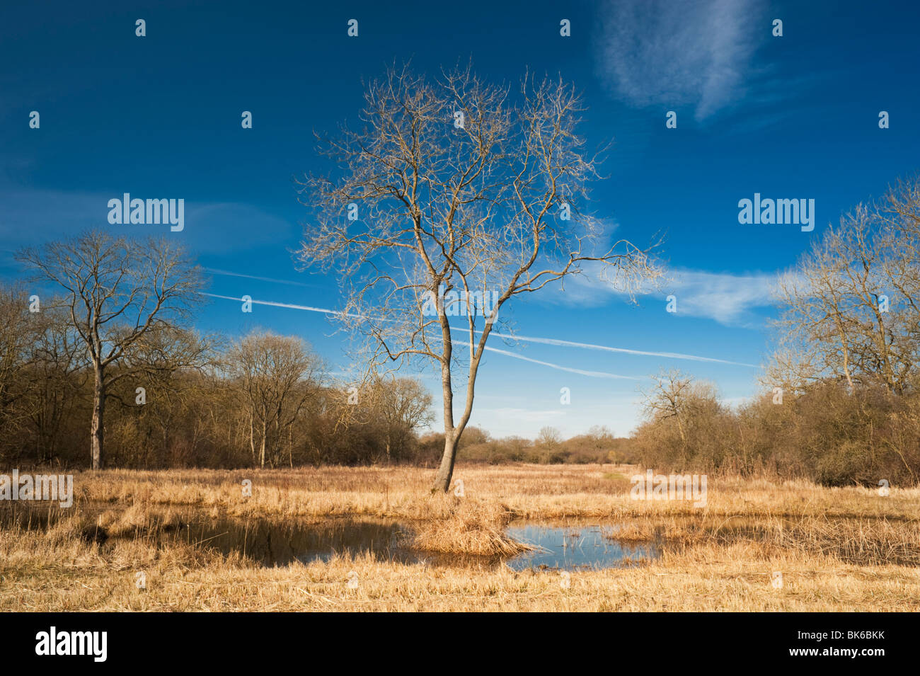 Leafless ash tree at Castor Hanglands National Nature Reserve, Cambridgeshire, in early March - Stock Image