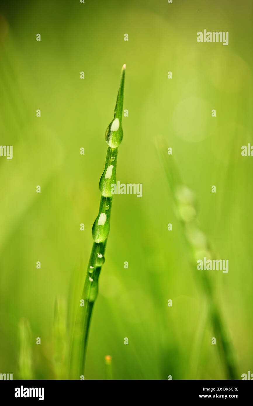 A blade of grass with dewdrops - Stock Image