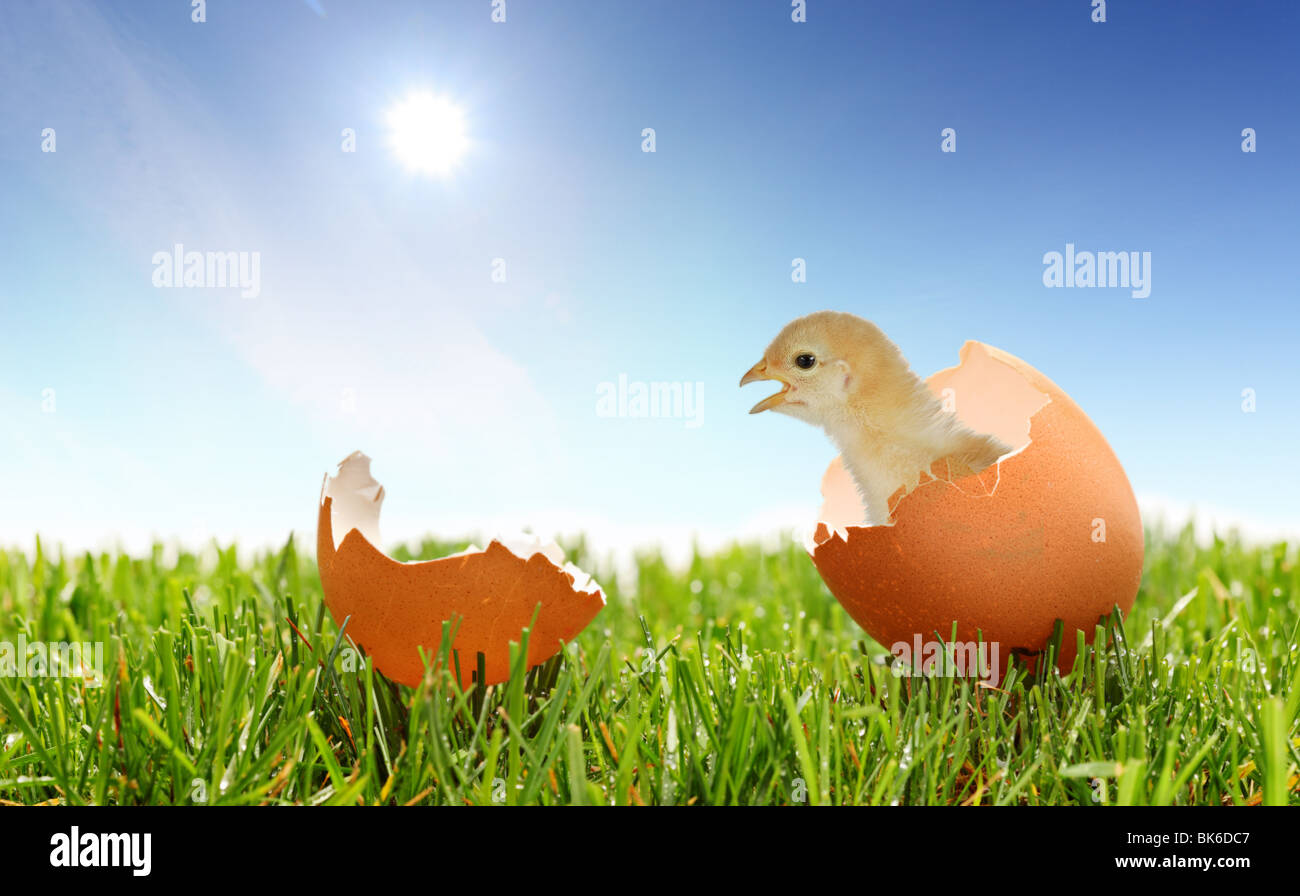 A view of a baby chicken on a green grass - Stock Image