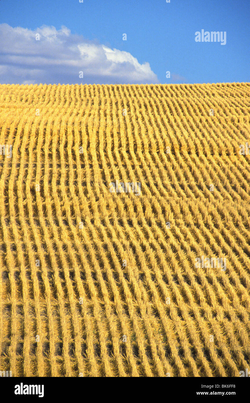 field of freshly cut wheat California - Stock Image