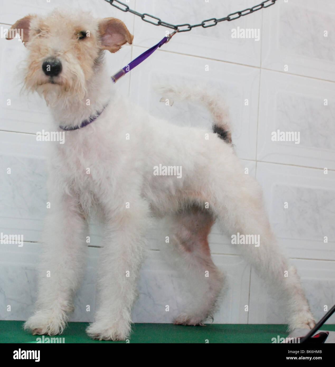 Pedigree Fox Terrier Stock Photos & Pedigree Fox Terrier Stock ...