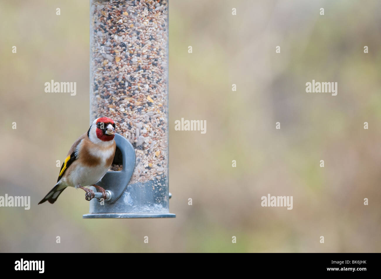 Goldfinch on a bird seed feeder - Stock Image