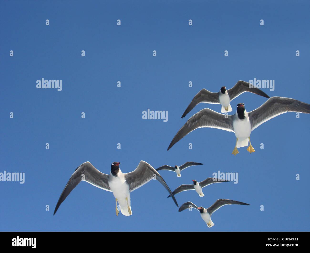 White-eyed gull in the sky, Ichthyaetus Leucophthalmus - Stock Image
