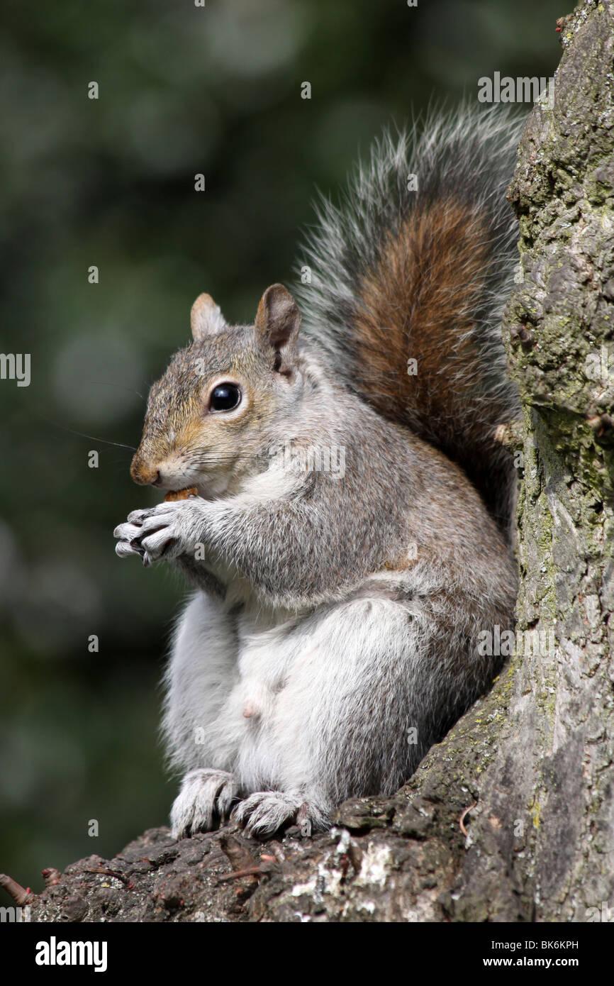 Grey Squirrel Sciurus carolinensis Sat On Tree Trunk Eating Nut Taken In Grosvenor Park, Chester, UK - Stock Image