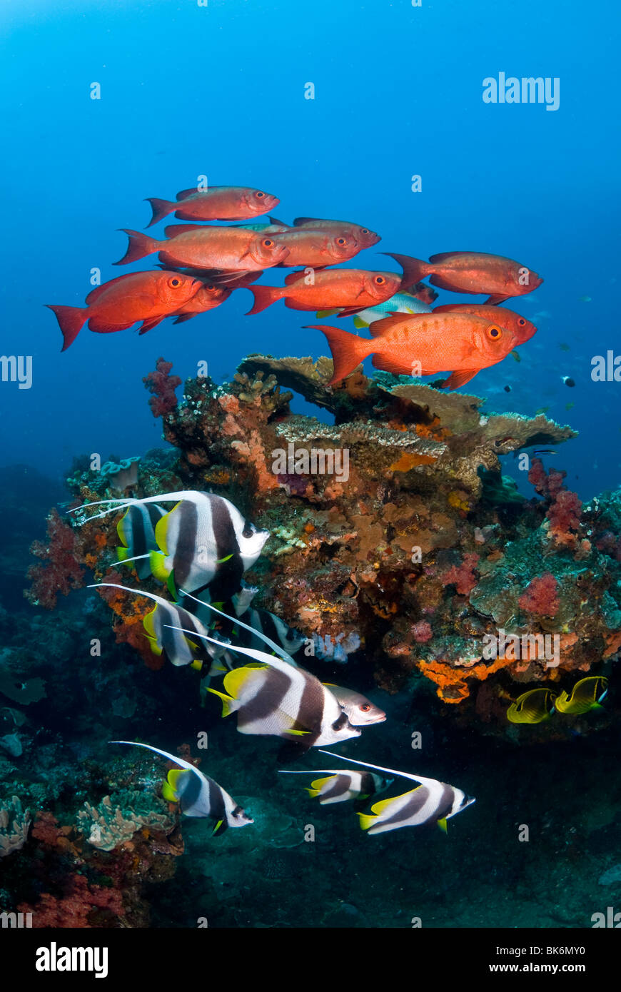 School of big eye snappers and banner fish, South Africa, Indian Ocea Stock Photo