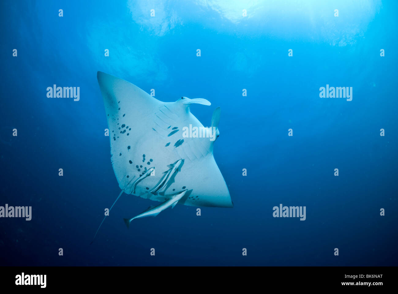 Manta ray, manta birostris, South Africa Stock Photo