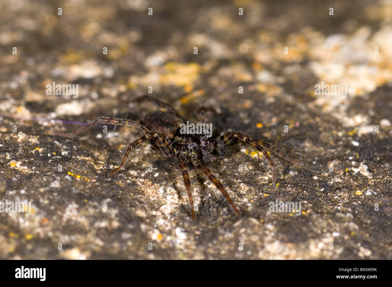 a wolf spider Pardosa Amentata, in a garden in the UK - Stock Image
