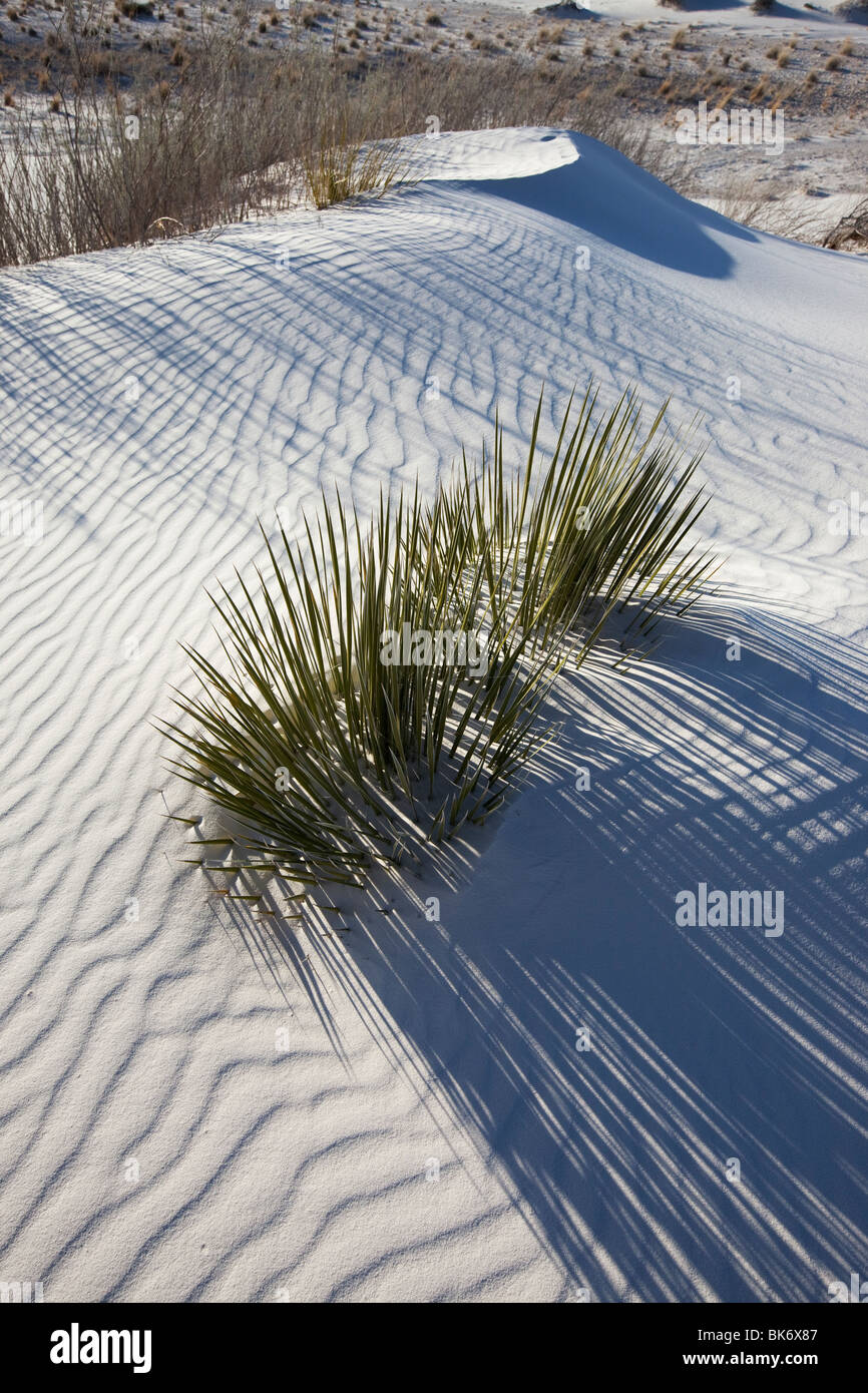 Yucca in White Sands, White Sands National Monument, New Mexico - Stock Image