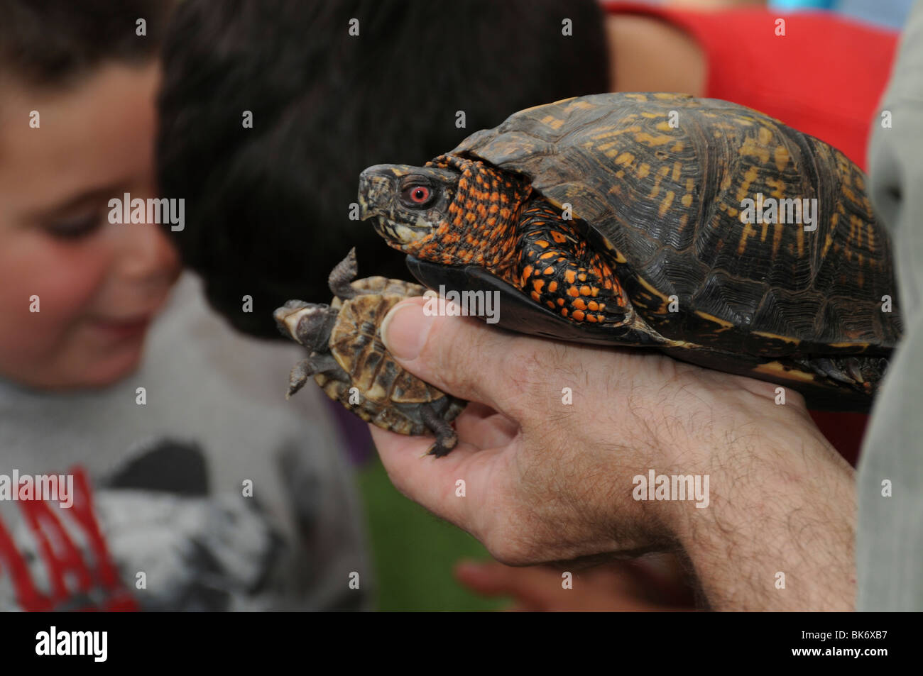 wildlife expert shows a fully grown box turtle with a baby turtle to children - Stock Image
