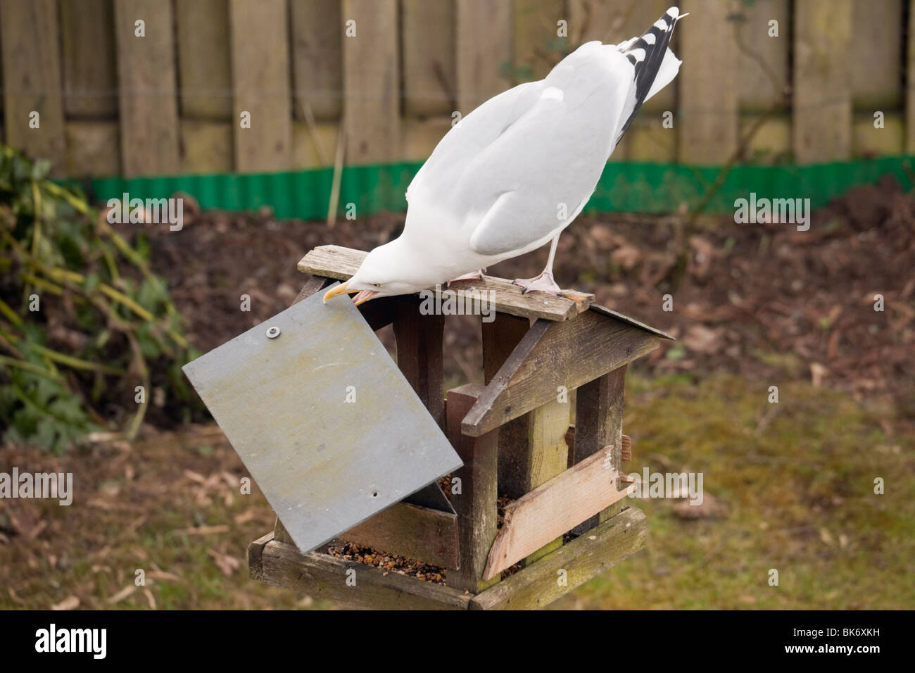 A Herring Gull (Larus argentatus) breaking a garden bird table to get to the food. UK, Britain. - Stock Image