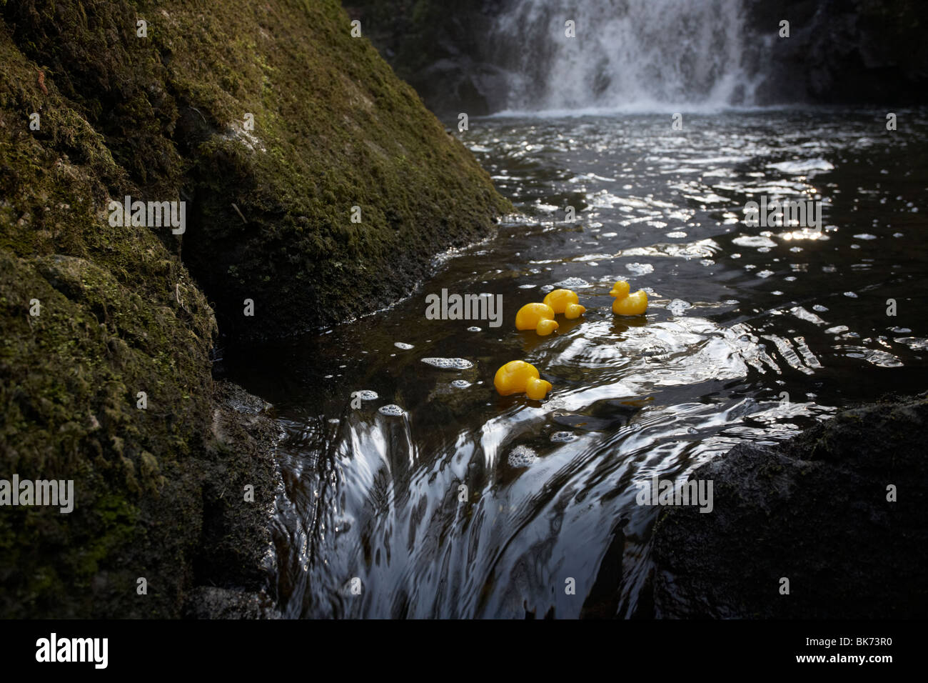yellow plastic toy ducks on a fast flowing river going over rocks in the uk Stock Photo