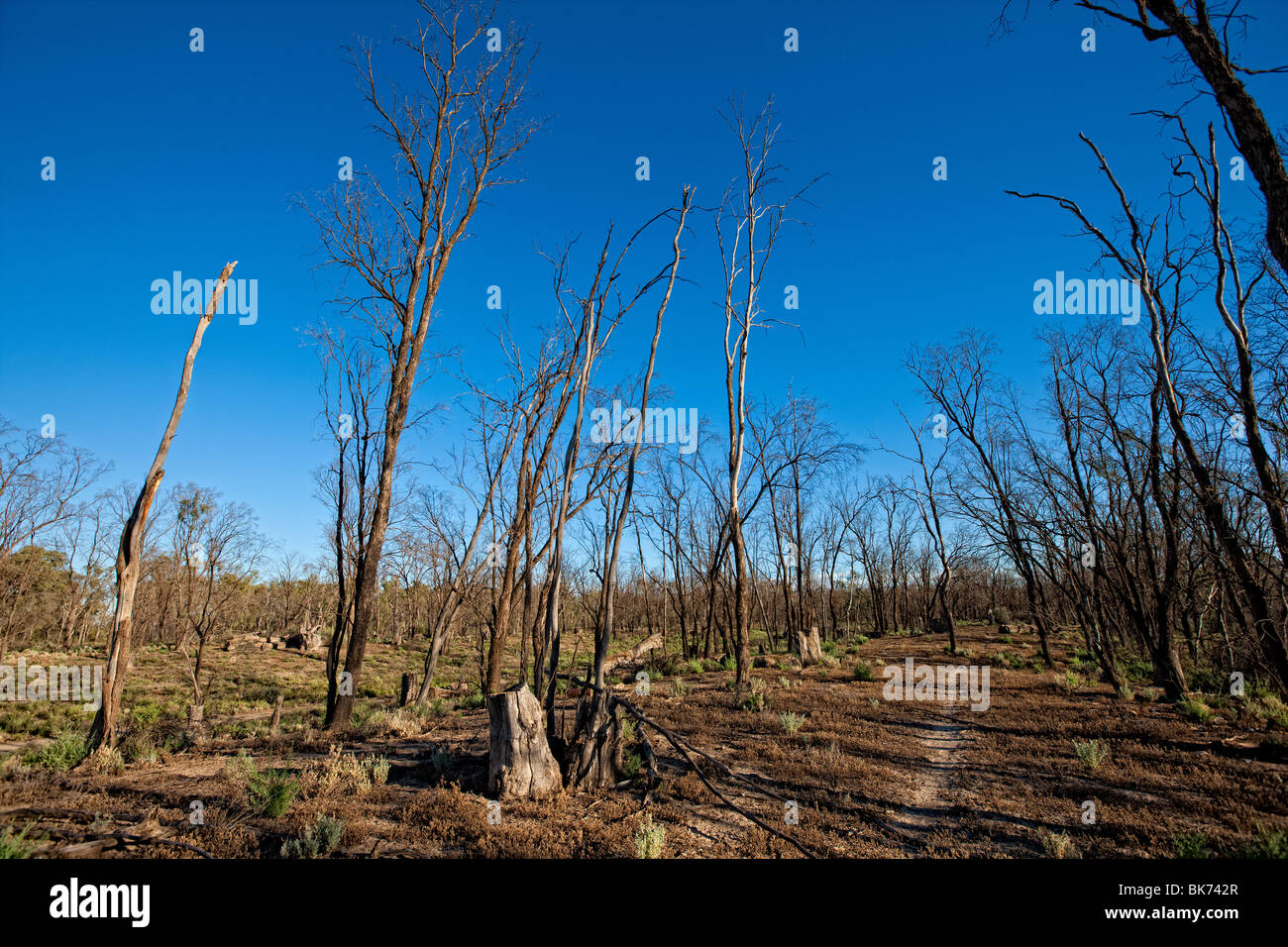 Dead trees in the Murray Darling Basin of Australia. - Stock Image