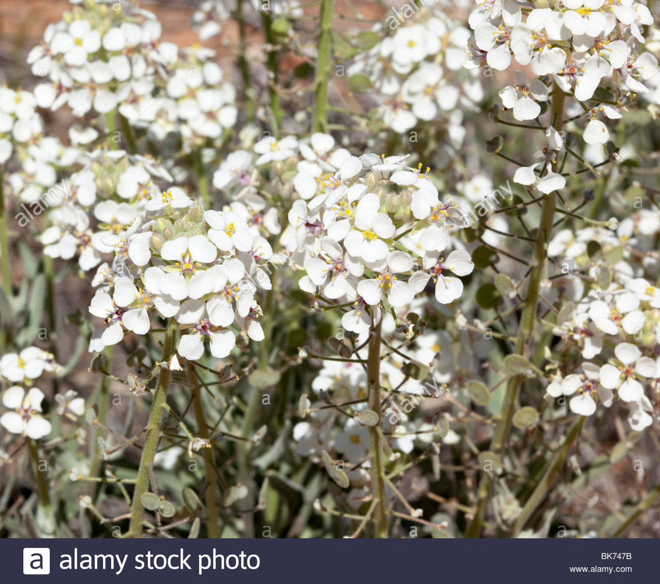 Spectacle Pod Dimorphocarpa wislizeni 'New Mexico' - Stock Image