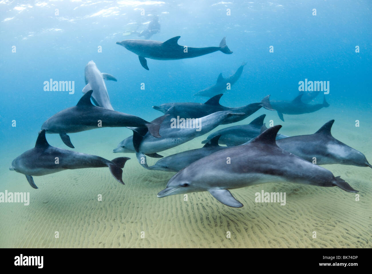 Bottle nose dolphins, South Africa, Indian Ocean - Stock Image