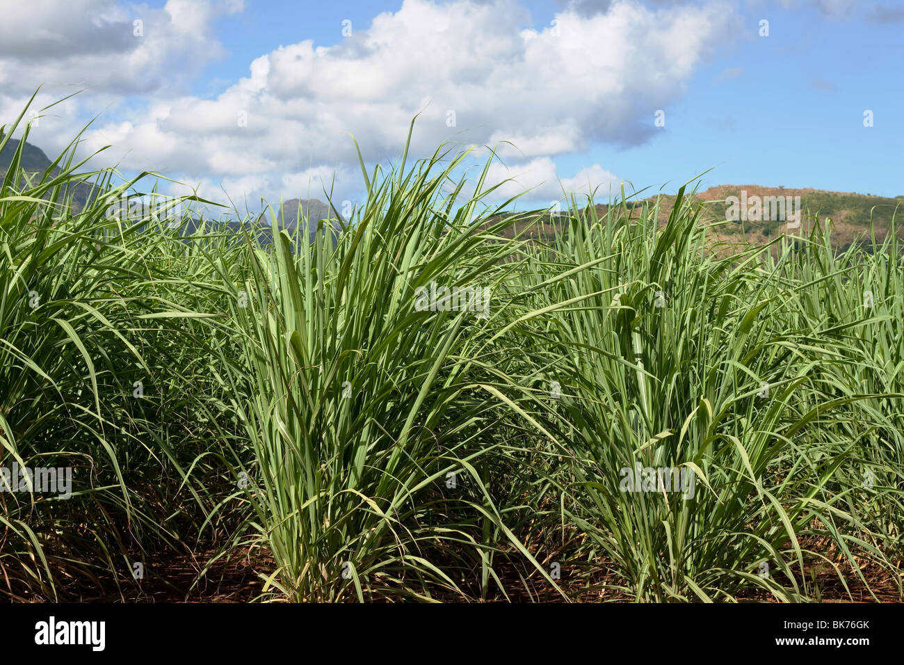sugarcane plantation on the tropical island of Mauritius with a nice beautiful background. - Stock Image