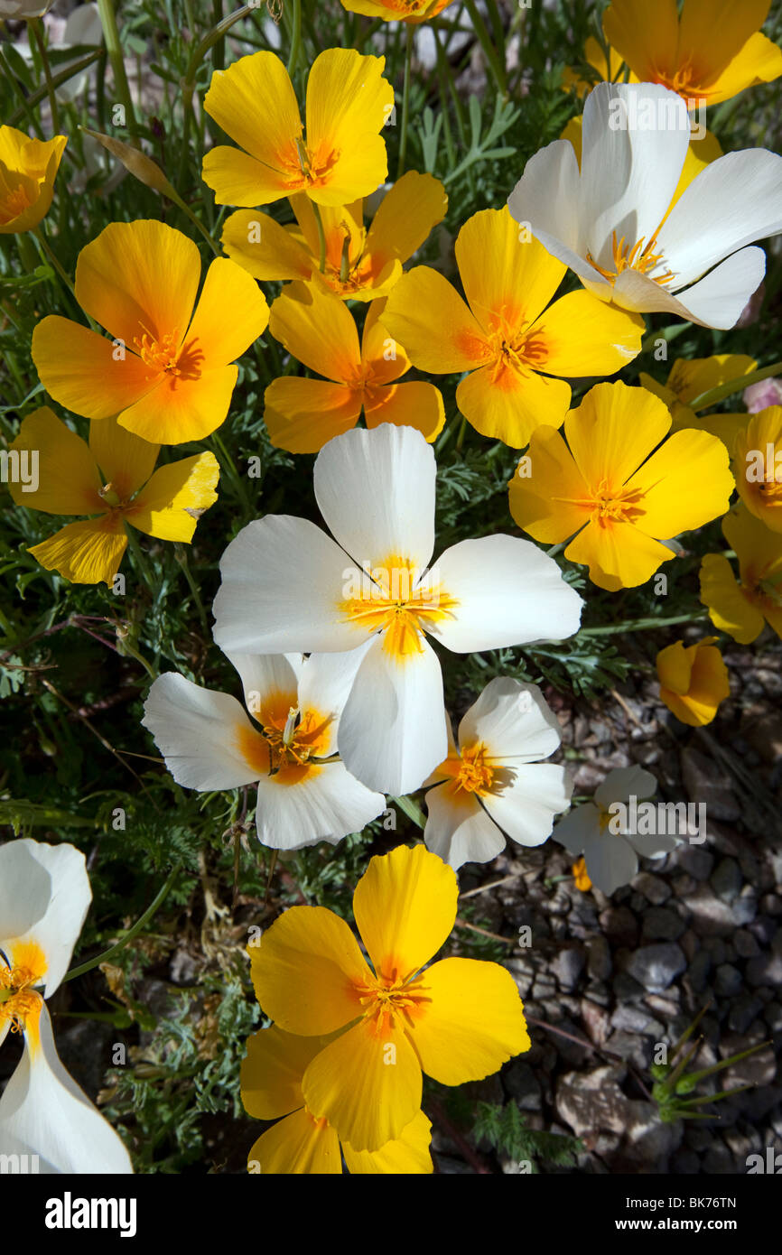 White California Poppies (Eschscholzia californica ssp. mexicana), a genetic variation, Tucson, Arizona - Stock Image