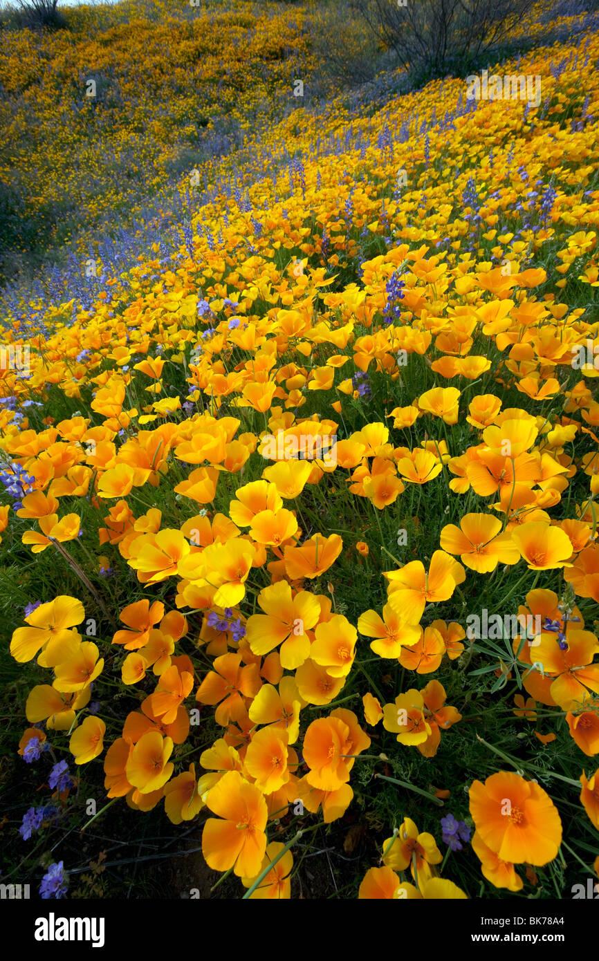 Sea of Wildflowers, California Poppies and Desert Lupine,Tucson, Arizona - Stock Image