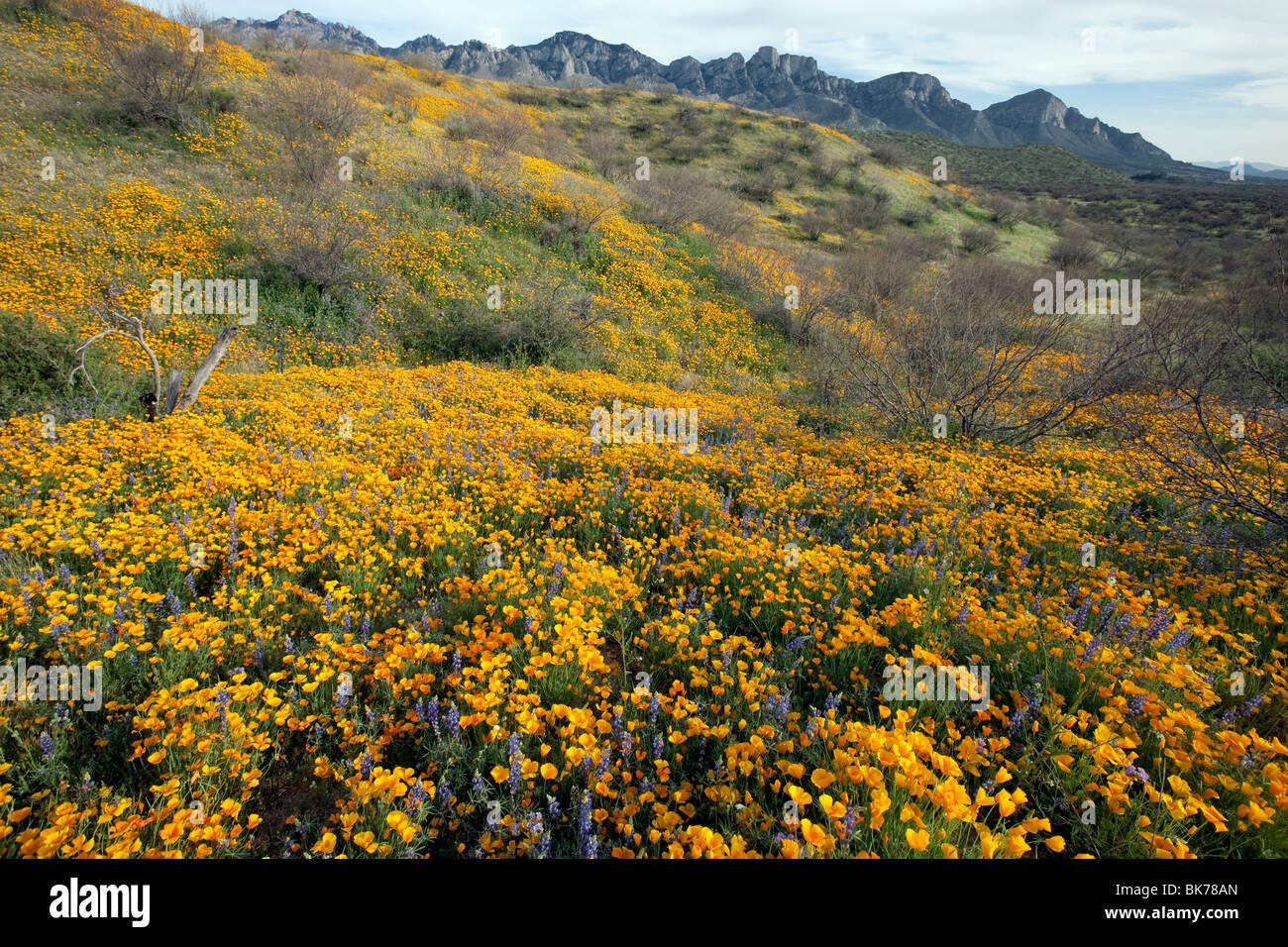 Sea of Wildflowers, California Poppies and Desert Lupine, Catalina State Park, Tucson, Arizona - Stock Image