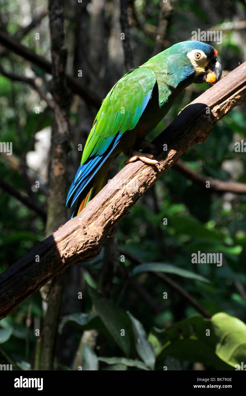 Blue-winged Macaw, Primolius maracana, Parque das Aves, Foz do Iguaçu, Parana, Brazil - Stock Image