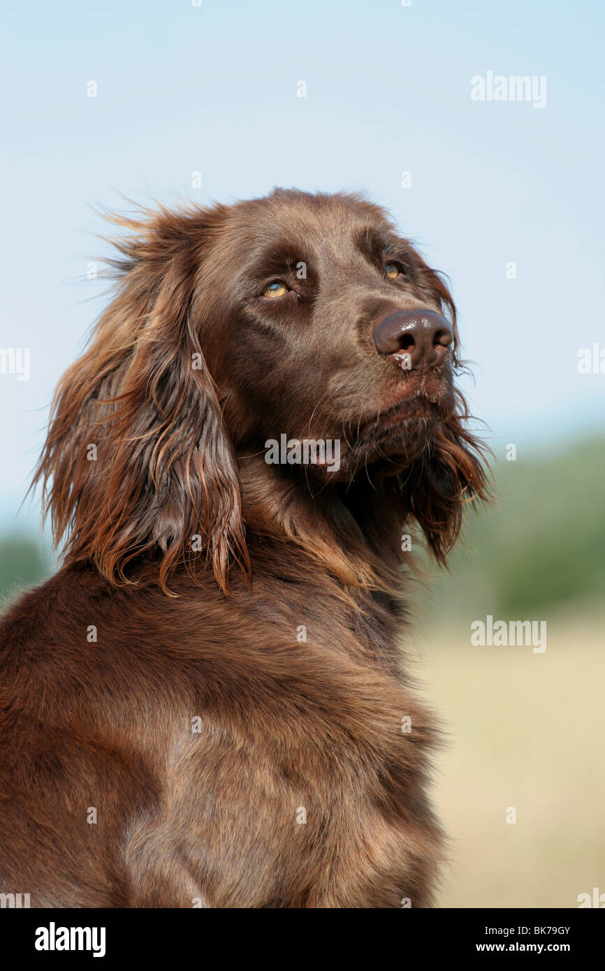 German Longhaired Pointer Stock Photo