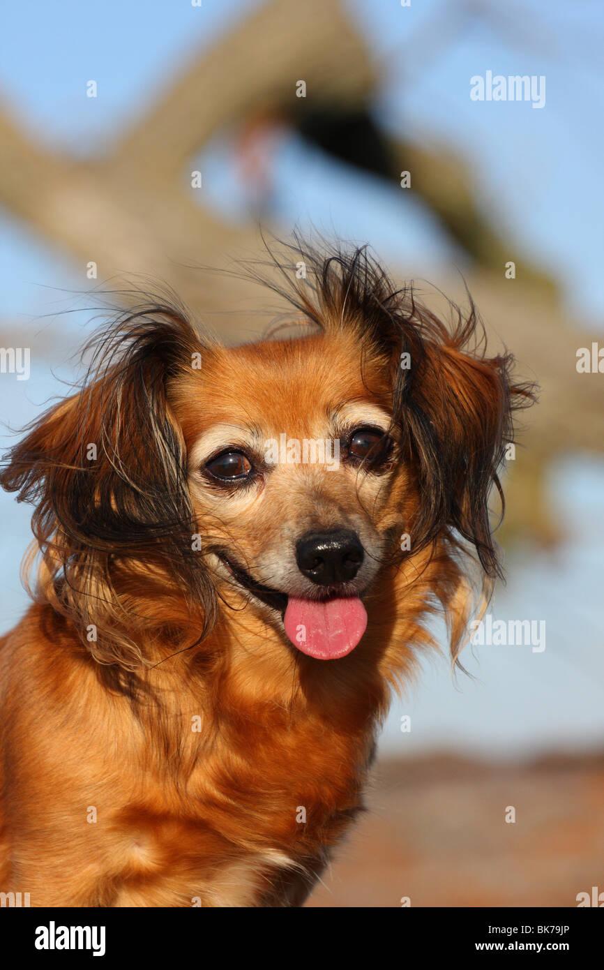Dackel-Chihuahua-Mix Stock Photo