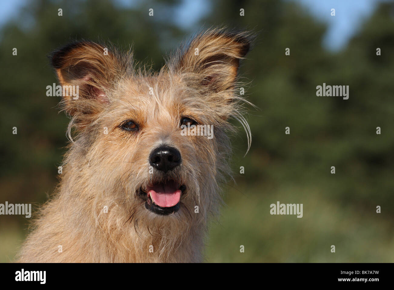 Irish-Terrier-Mongrel - Stock Image