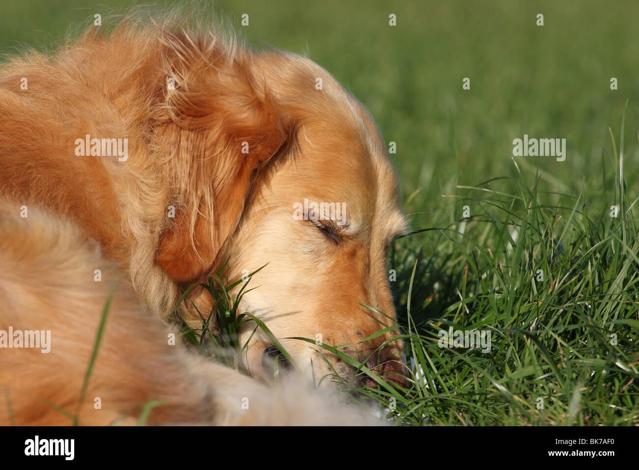 lying Golden Retriever Stock Photo